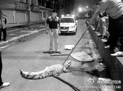 Krokodiel auf Chinas Straßen
