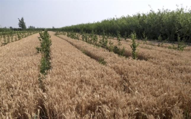 Bild Weizen-Felder mit Grünen Streifen